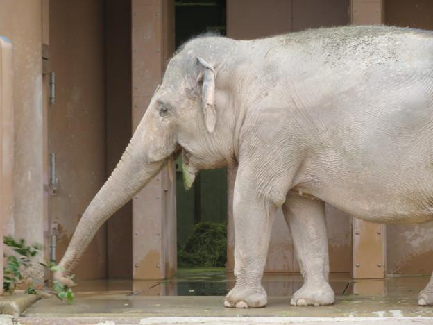東山動植物園のアジアゾウ舎「ゾージアム」 - 9