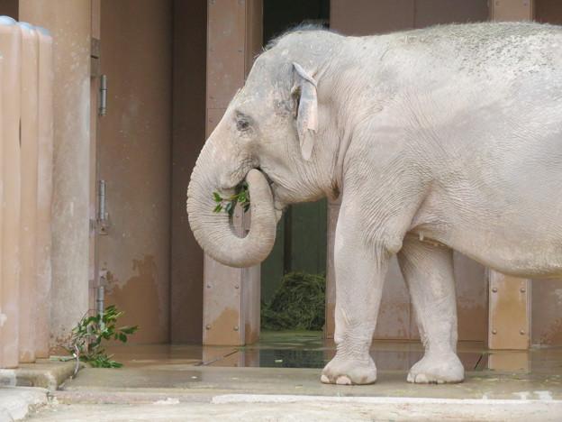 Photos: 東山動植物園のアジアゾウ舎「ゾージアム」 - 10