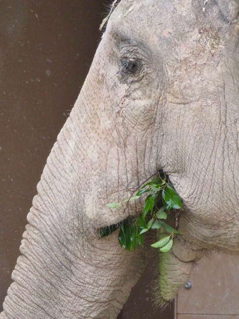 東山動植物園のアジアゾウ舎「ゾージアム」 - 13