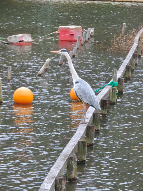 東山動植物園:今日は上池にいたアオサギ - 1