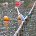 Photos: 東山動植物園:今日は上池にいたアオサギ - 1