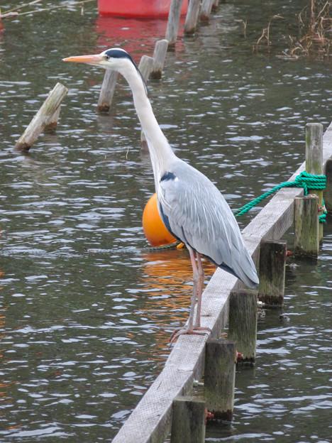 東山動植物園:今日は上池にいたアオサギ - 2