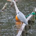 Photos: 東山動植物園:今日は上池にいたアオサギ - 2