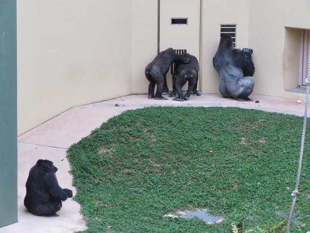 東山動植物園のゴリラ - 1