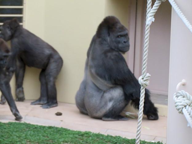 東山動植物園のゴリラ - 2