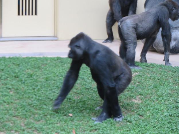 東山動植物園のゴリラ - 3