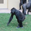 Photos: 東山動植物園のゴリラ - 3