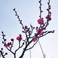 まだ1月なのに近所の梅が開花!?(2020年1月26日)