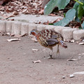 Photos: 東山動植物園小鳥とリスの森:妙な歩き方をしてたコジュケイ - 1