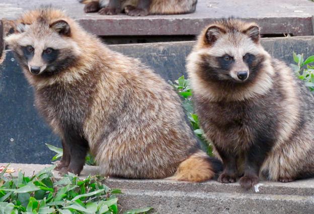 東山動植物園のタヌキ - 3