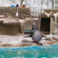 東山動植物園:ちょっと辺な姿勢で寝てたアシカ - 1