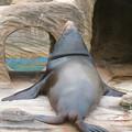 Photos: 東山動植物園:ちょっと辺な姿勢で寝てたアシカ - 2