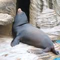 東山動植物園:ちょっと辺な姿勢で寝てたアシカ - 3