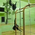 Photos: 東山動植物園:今日は室内にいたフクロテナガザル - 1