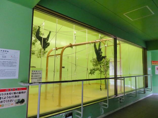 東山動植物園:今日は室内にいたフクロテナガザル - 2