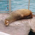 東山動植物園:今日も気持ち良さそうに寝てたアシカ - 1