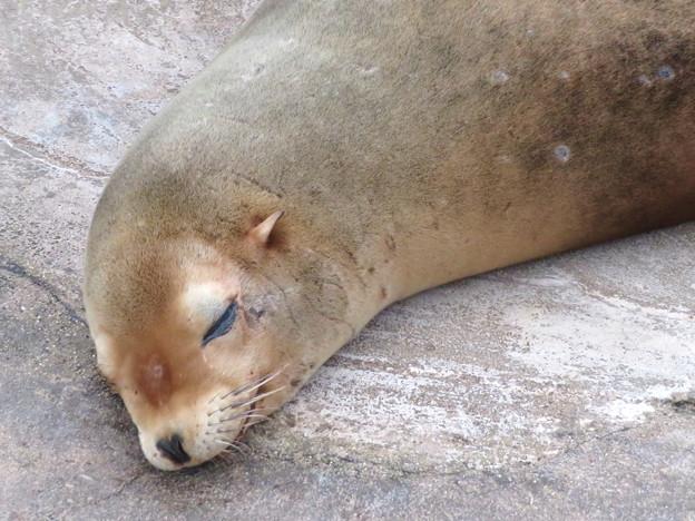 Photos: 東山動植物園:今日も気持ち良さそうに寝てたアシカ - 2