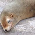 東山動植物園:今日も気持ち良さそうに寝てたアシカ - 2