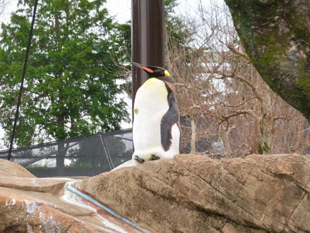 東山動植物園:珍しく一番高い所で立ち寝してたオウサマペンギン - 1