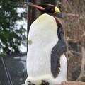 東山動植物園:珍しく一番高い所で立ち寝してたオウサマペンギン - 2