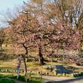 荒子公園 - 6:かなり咲いてた梅