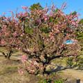 荒子公園 - 9:かなり咲いてた梅