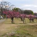 Photos: 落合公園の梅園の梅が満開(2020年2月13日) - 1