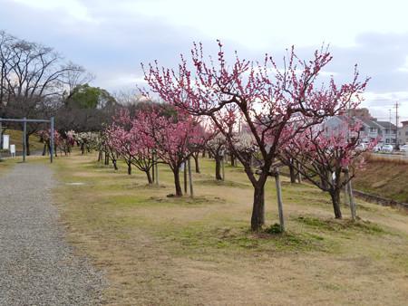 落合公園の梅園の梅が満開(2020年2月13日) - 2