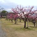 Photos: 落合公園の梅園の梅が満開(2020年2月13日) - 2