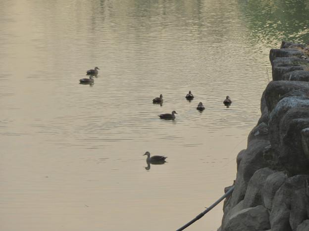 落合池のカモ - 1