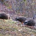 Photos: 落合池のカモ - 10:落ち葉の下の何かを探して食べていたカモ