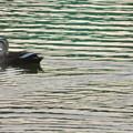 Photos: 落合池のカモ - 14