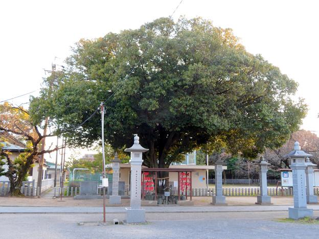 白山神社 - 57:和合の木