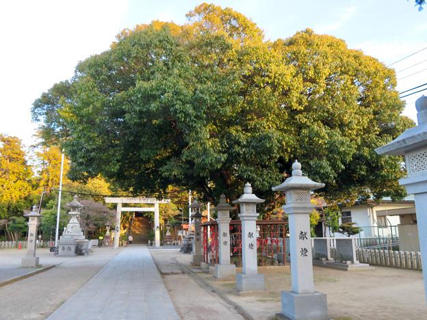 白山神社 - 59:和合の木