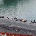 Photos: 色んな種類のカモが沢山いた木曽川沿い(犬山市側)- 3:カルガモ