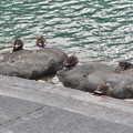 Photos: 色んな種類のカモが沢山いた木曽川沿い(犬山市側)- 4:カルガモ
