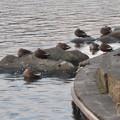 Photos: 色んな種類のカモが沢山いた木曽川沿い(犬山市側)- 5:カルガモ
