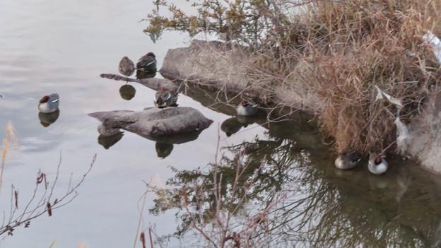 色んな種類のカモが沢山いた木曽川沿い(犬山市側)- 8