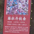 名古屋市農業センター No - 16:梅の説明(藤牡丹枝垂、ふじぼたんしだれ)