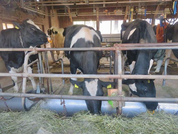 名古屋市農業センター No - 40:食事中の乳牛