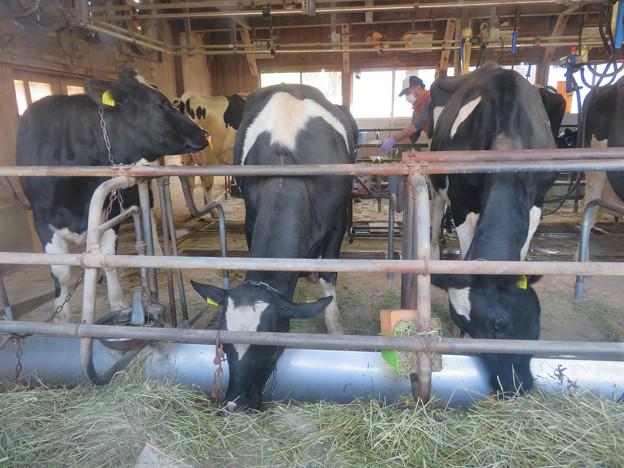 名古屋市農業センター No - 42:食事中の乳牛