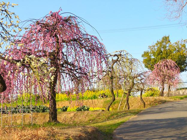 名古屋市農業センター No - 43:満開の梅