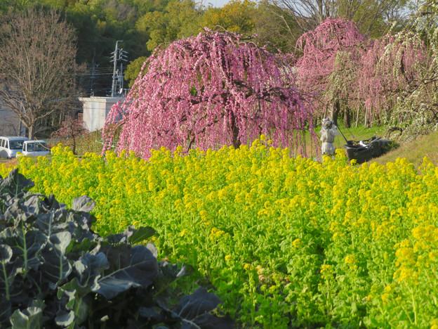 名古屋市農業センター No - 44:満開の梅と菜の花