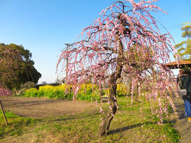 名古屋市農業センター No - 45:満開の梅