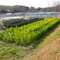 名古屋市農業センター No - 46:満開の菜の花