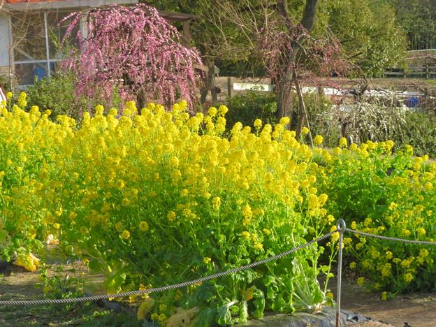 名古屋市農業センター No - 48:満開の菜の花