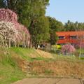 名古屋市農業センター No - 49:満開の梅