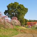 名古屋市農業センター No - 50:満開の梅