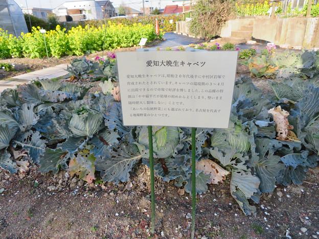 名古屋市農業センター No - 51:愛知大晩生キャベツ