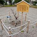 金シャチ横丁に植えられた「家康梅」 - 2